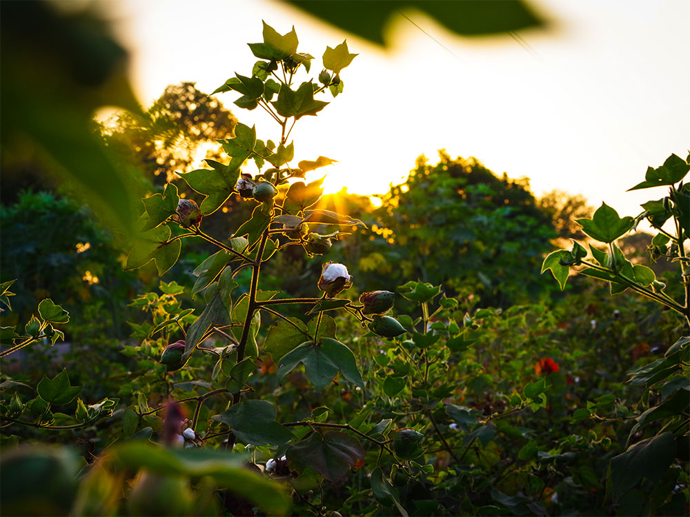 Fibres - Organic Cotton